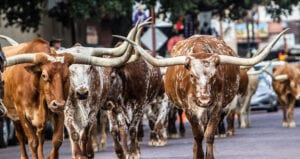 Longhorns cattle in Fort Worth Texas
